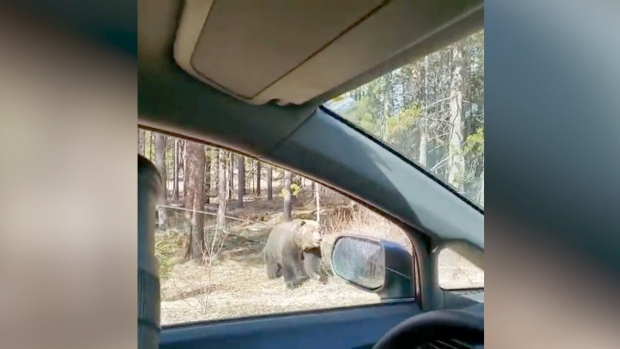 Large grizzly recorded chasing smaller bear in Banff