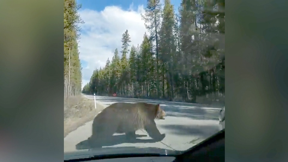 A grizzly bear was recorded chasing a smaller bear recently in Banff National Park.