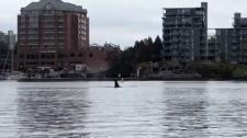 orca swim inner harbour