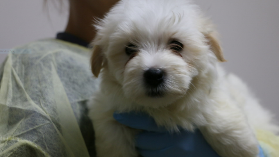 The Edmonton Humane Society is helping nurse dozens of seized puppies back to health (EHS)