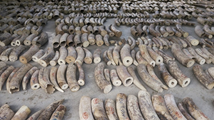Singapore authorities made their largest ever seizure of smuggled ivory last month, impounding a haul of nearly nine tonnes of contraband tusks from an estimated 300 African elephants valued at US$12.9 million. (AFP)