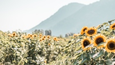 Rachel-Ann Nadeau shot this stunning photo at the Chilliwack Sunflower Festival.