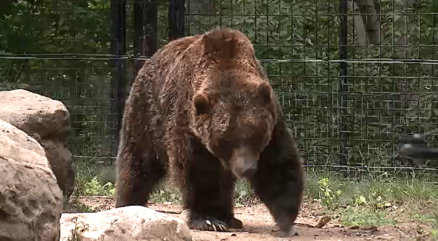 Grizzly at the Forestry Farm Park and Zoo