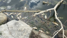Dead fish in Alder Lake