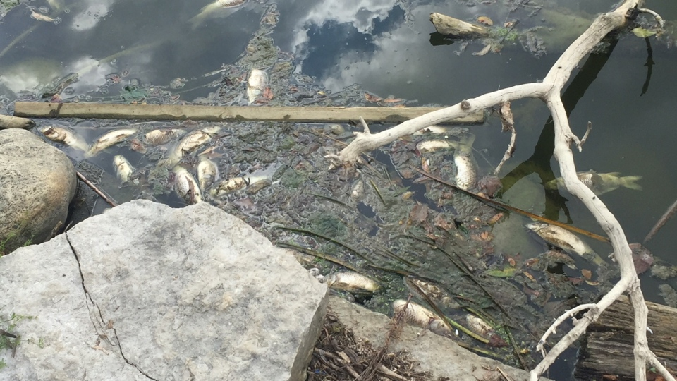 The GRCA estimates that hundreds of carp have died in New Dundee's Alder Lake. (Max Wark / CTV Kitchener)