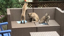 Bobcats in Calgary backyard (Tom Scrace)