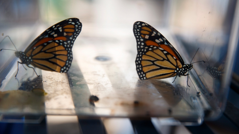 Two newly emerged monarch butterflies