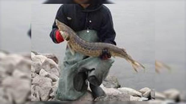lake sturgeon catch