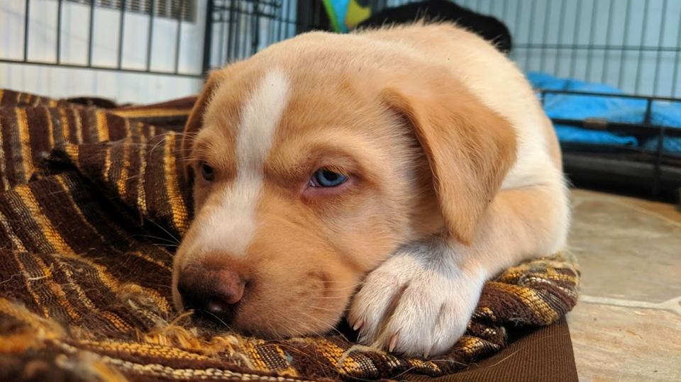 puppy Victoria Humane Society