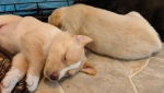 Victoria puppies