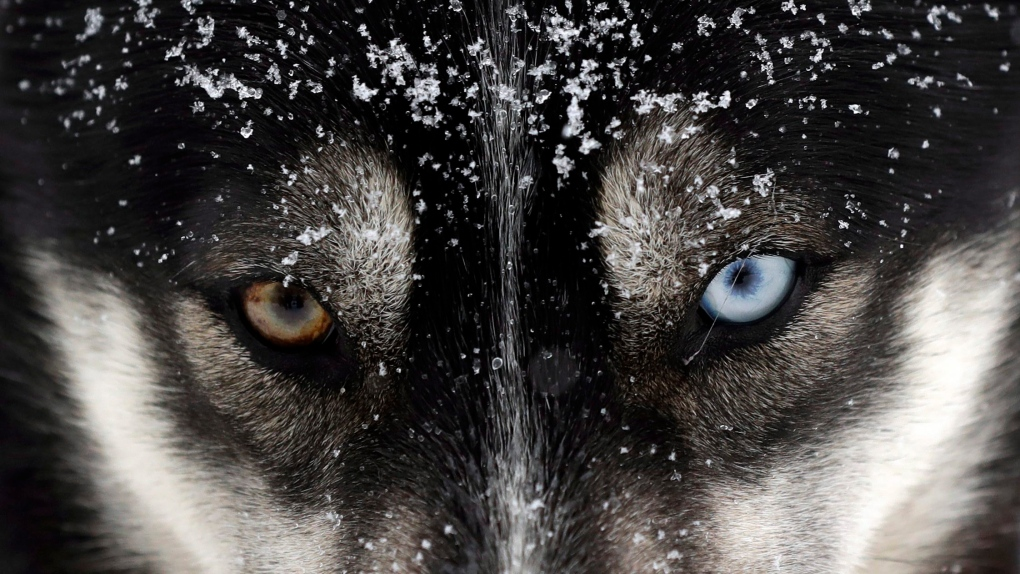 Federal government apologizes for historic sled dog killings in the North