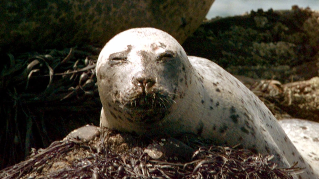 Fishing industry given say in federal research on Atlantic seals, fish