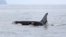 Orcas near B.C.