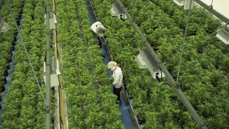 Staff work in a marijuana grow room at Canopy Growth's Tweed facility in Smiths Falls, Ont. on Aug. 23, 2018. THE CANADIAN PRESS/Sean Kilpatrick