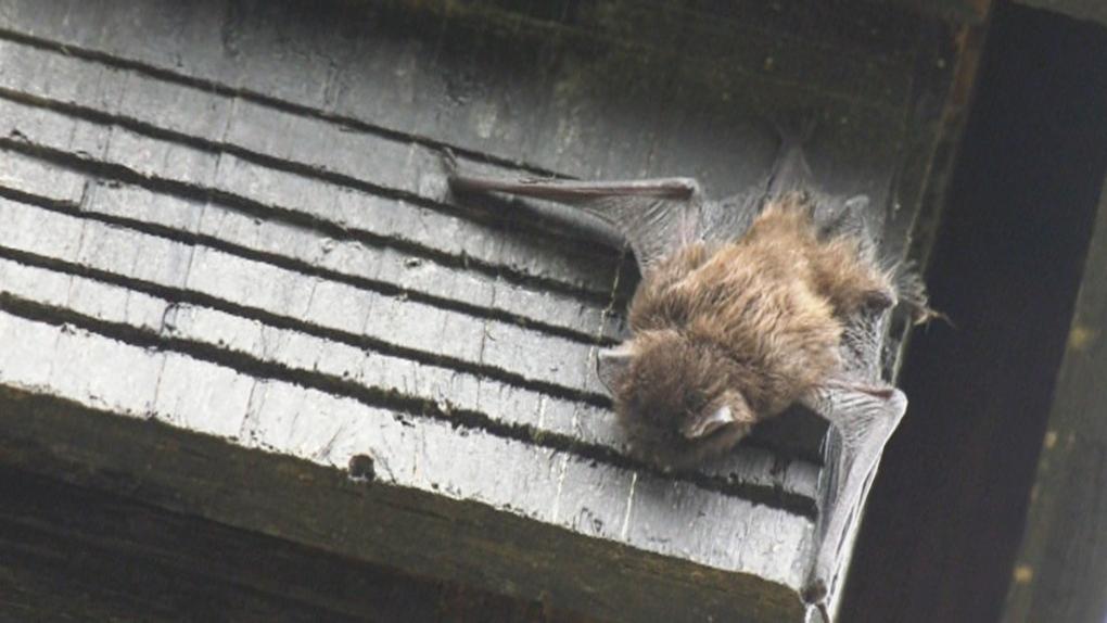 Bat found in Saanich school yard tests positive for rabies