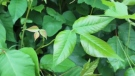 If you saw poison ivy in the wilderness or your own backyard, would you be able to spot it? (Consumer Reports.)