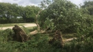 Uprooted trees in Cottam, Ont., on Friday, Aug. 16, 2019. (Bob Bellacicco / CTV Windsor)