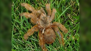 Tuffnail, a Brazilian giant blonde tarantula, was found on August 11, 2019 near a pathway in the City of Airdrie. (Facebook/Susan Lee)