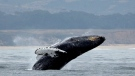In this Monday, Aug. 7, 2017 file photo, a humpback whale breeches off Half Moon Bay, Calif. (AP Photo/Eric Risberg,File)