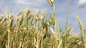 A wheat crop is shown near Regina. (Gareth Dillistone / CTV Regina)