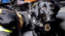 calgary, firefighter, honey service dog, gofundme,