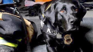 calgary, firefighter, honey service dog, gofundme,