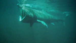 A basking shark cruises through the water in search of plankton. (CTV NEWS LONDON)
