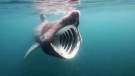 CTV National News: Elusive basking shark