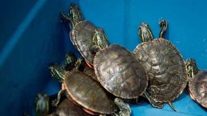 Turtles are pictured in a bucket prior to being released into a pond in Langley, B.C., Tuesday, July 23, 2019. THE CANADIAN PRESS/Jonathan Hayward