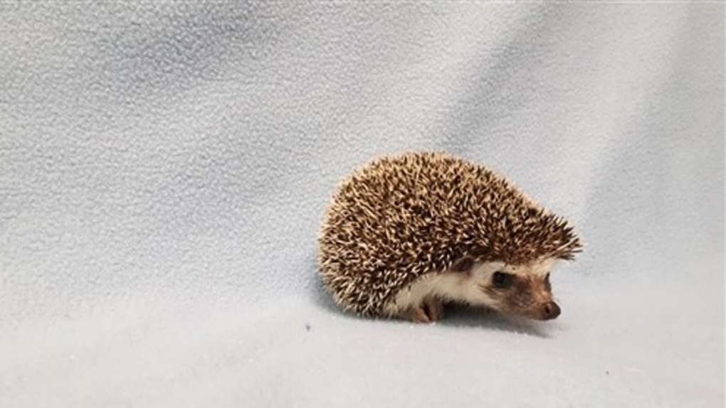 The new Jackson 5: Hedgehogs left in SPCA parking lot now need homes