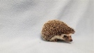 One of the hedgehogs the BC SPCA nicknamed 'The Jackson 5' is shown in a photo from the BC SPCA Maple Ridge Branch Facebook page.