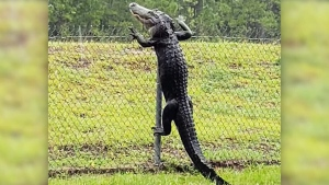 Alligator climbs fence in Florida