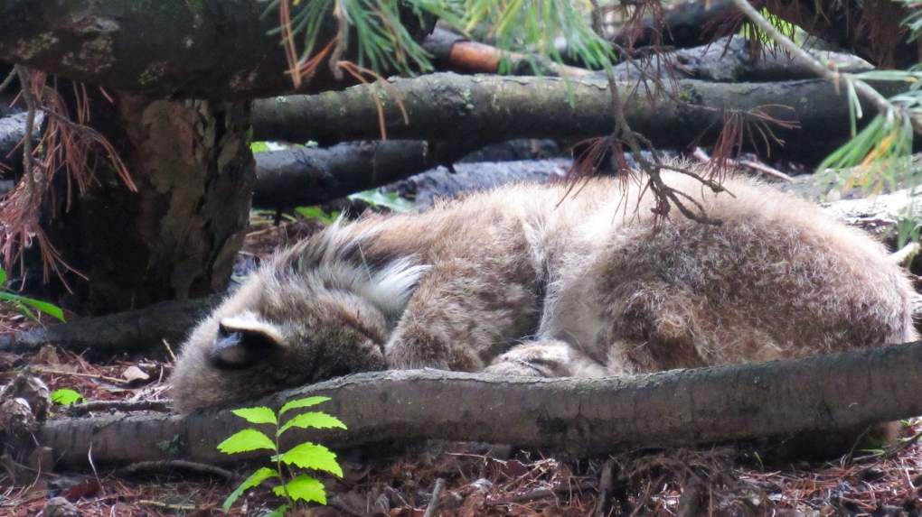 Lynx photographed cat-napping at legislature