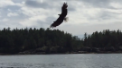 A bald eagle is seen in a still image from video posted on Twitter by Vancouver Fire Chief Darrell Reid on Sunday, Aug. 18, 2019.