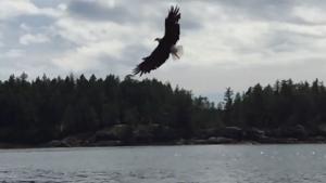 Bald eagle on Sunshine Coast