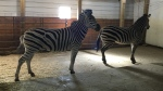 Zebras are a major attraction at Westwood Ranch Garden Centre. (Jaden Lee-Lincoln / CTV Regina)