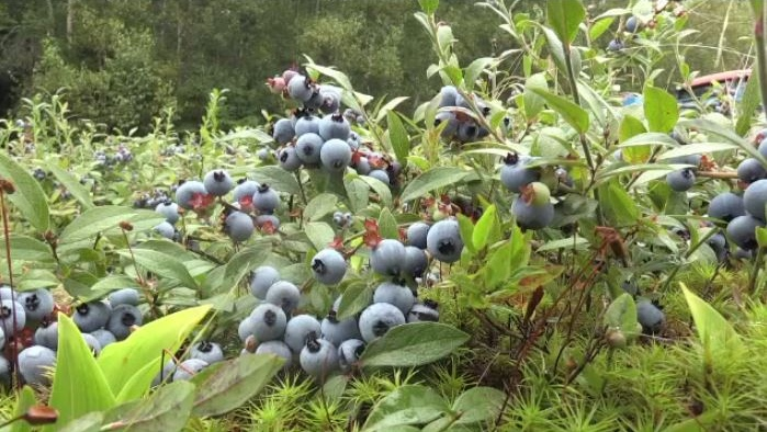 N.B. plans to harvest 60 million pounds during Wild Blueberry Week
