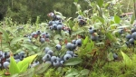 Wild blueberries, which grow in Eastern Canada and Maine, are different than the ones you might usually pick up in a grocery store.