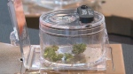 Pot shops could be coming to Kitchener, Guelph