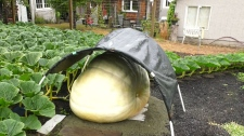 Early entry for island's largest pumpkin