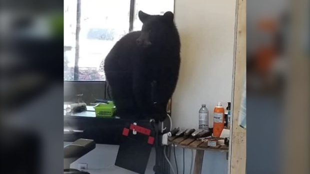 'Wildest thing we've ever seen': Bear goes into northern Alta. barbershop