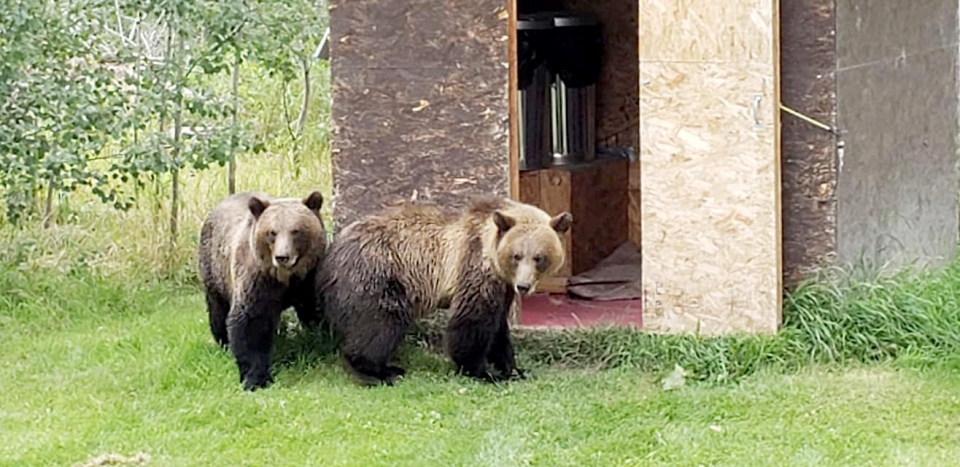 Two of three grizzlies seen wandering on a property near Whitecourt. (Marjie Whitehead)