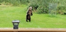 A grizzly bear stands up on Marjie Whitehead's property in central Alberta. (Marjie Whitehead)