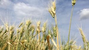 Crops west of Regina (Gareth Dillistone / CTV Regina)