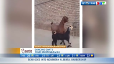 Video of dancing goats