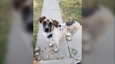 Lucy, missing dog, Thailand, Calgary