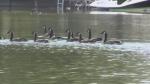 Geese in Orillia