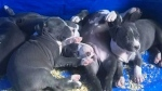 Puppies stolen from Sudbury home