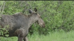 Changes coming to Ontario moose management program