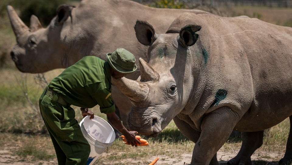 Female northern white rhinos Fatu, 19, right, and Najin, 30, left, the last two northern white rhinos on the planet, are fed some carrots by a ranger in their enclosure at Ol Pejeta Conservancy, Kenya Friday, Aug. 23, 2019. (AP Photo/Ben Curtis)